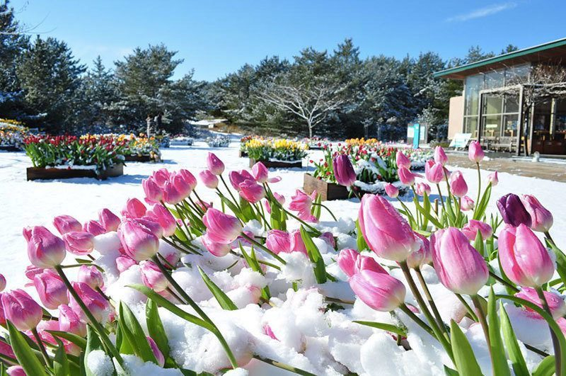 Hitachi Seaside Park Ice Tulips