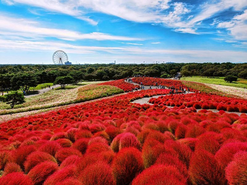 Hitachi Seaside Park Incredible