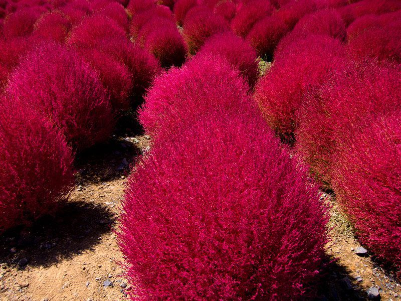 Hitachi Seaside Park Kochia Hill