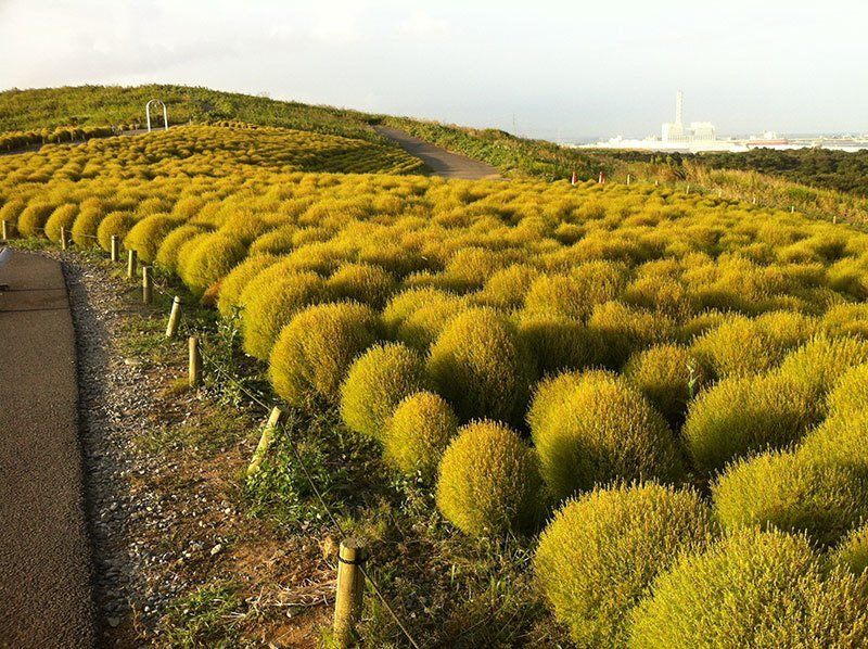 Hitachi Seaside Park Kochia