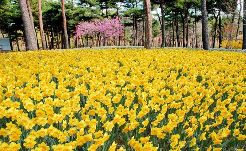 Hitachi Seaside Park Narcissus