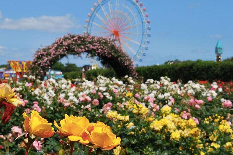 Hitachi Seaside Park Rose Garden