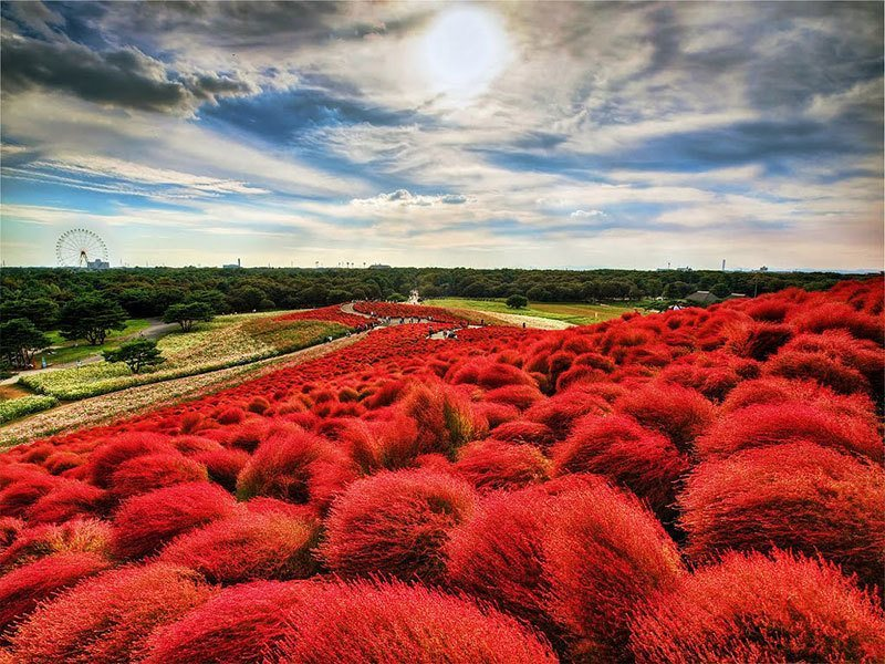Burning Red Bushes