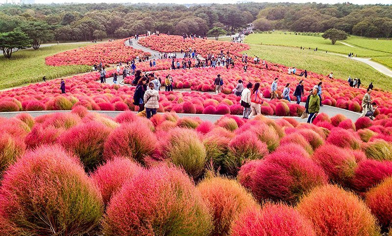Hitachi Seaside Park Tourists
