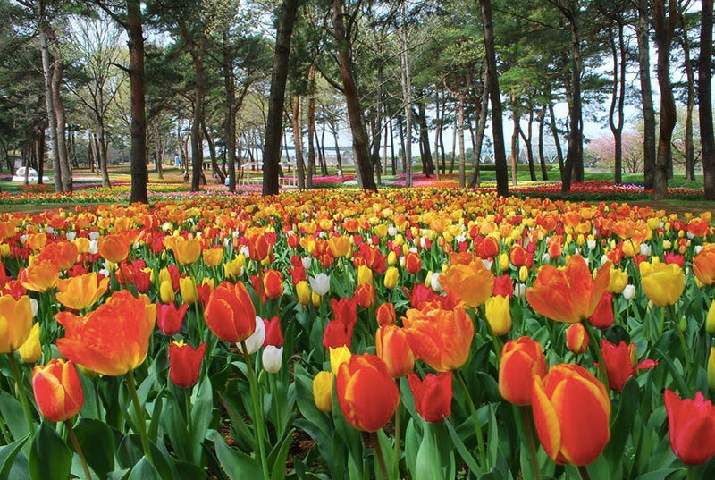 Hitachi Seaside Park Tulips