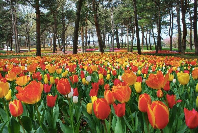 Hitachi Seaside Park Tulips