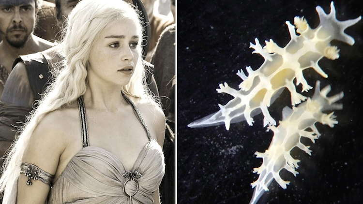 Khaleesi Sea Slug