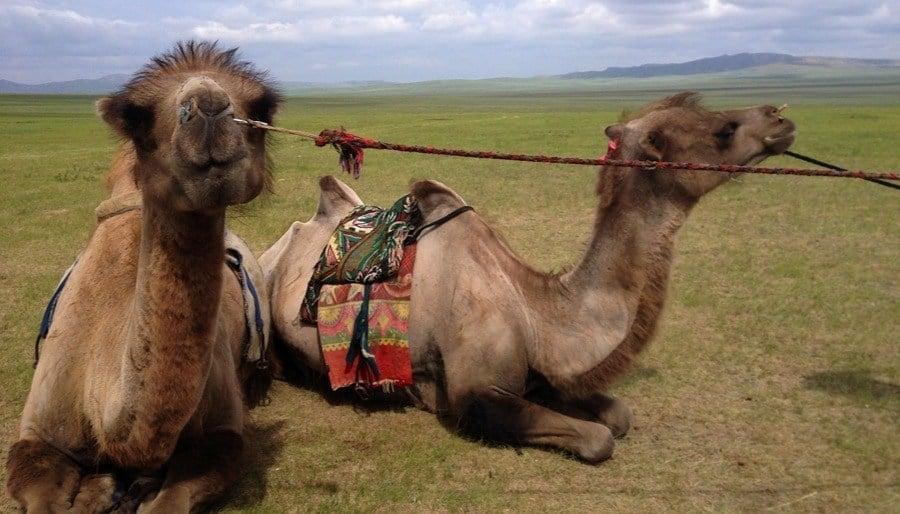 Mongolia Nomads Camel Closesup