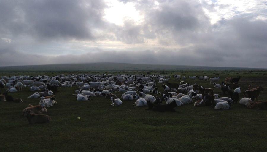 Mongolia Nomads Goat Herd