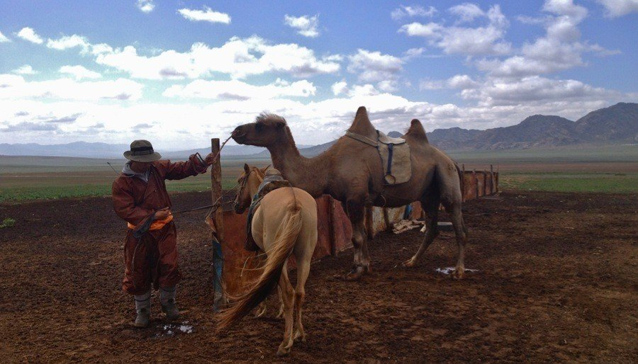 Mongolia Nomads Prepping Camel