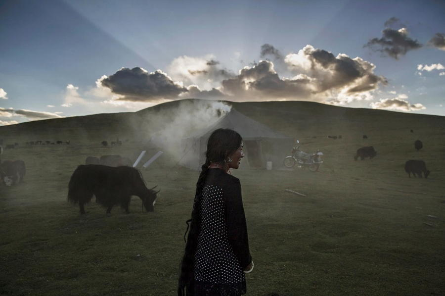 Tibetan Nomad Yaks Sun