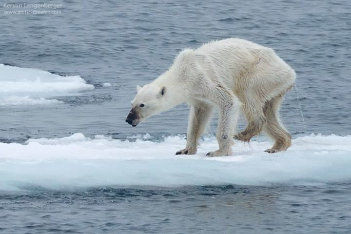 Starved Polar Bear