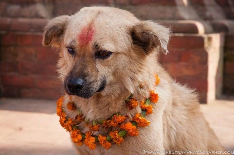 Dog Festival Nepal Pup