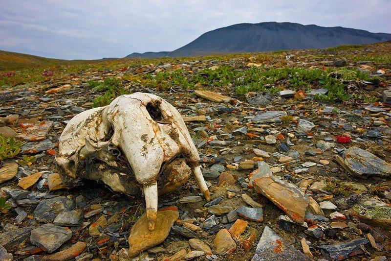 Alaska Walruses Skull