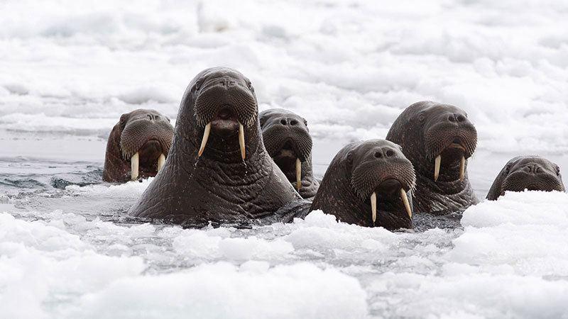 Walrus Up Close
