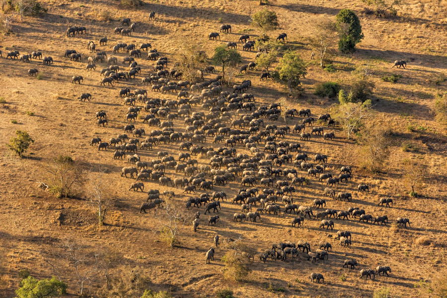 Elephants Herd Aerial
