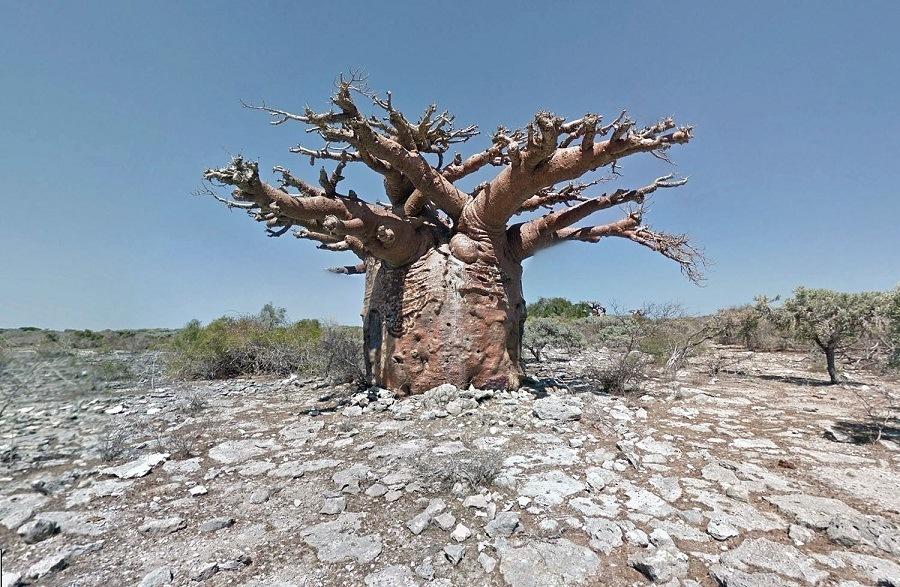Google Street View Baobab