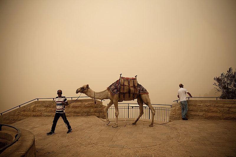 Lebanon Camel