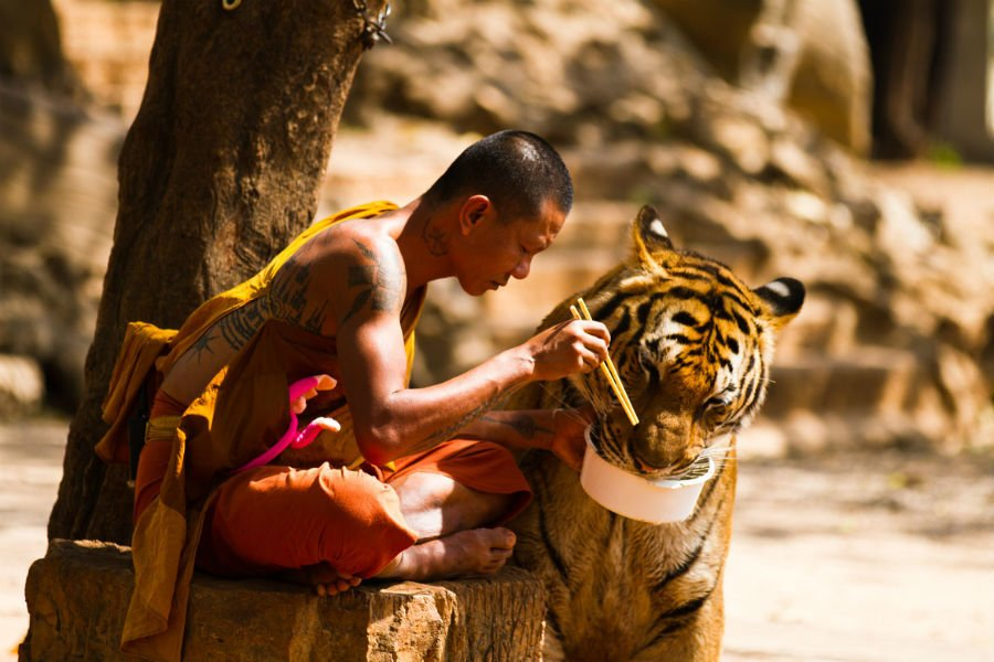 Buddhist Monk Feeds Tiger