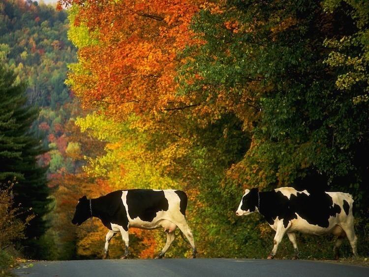 Best Road Trips VT Cows