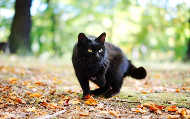 Black Cat Common Superstitions