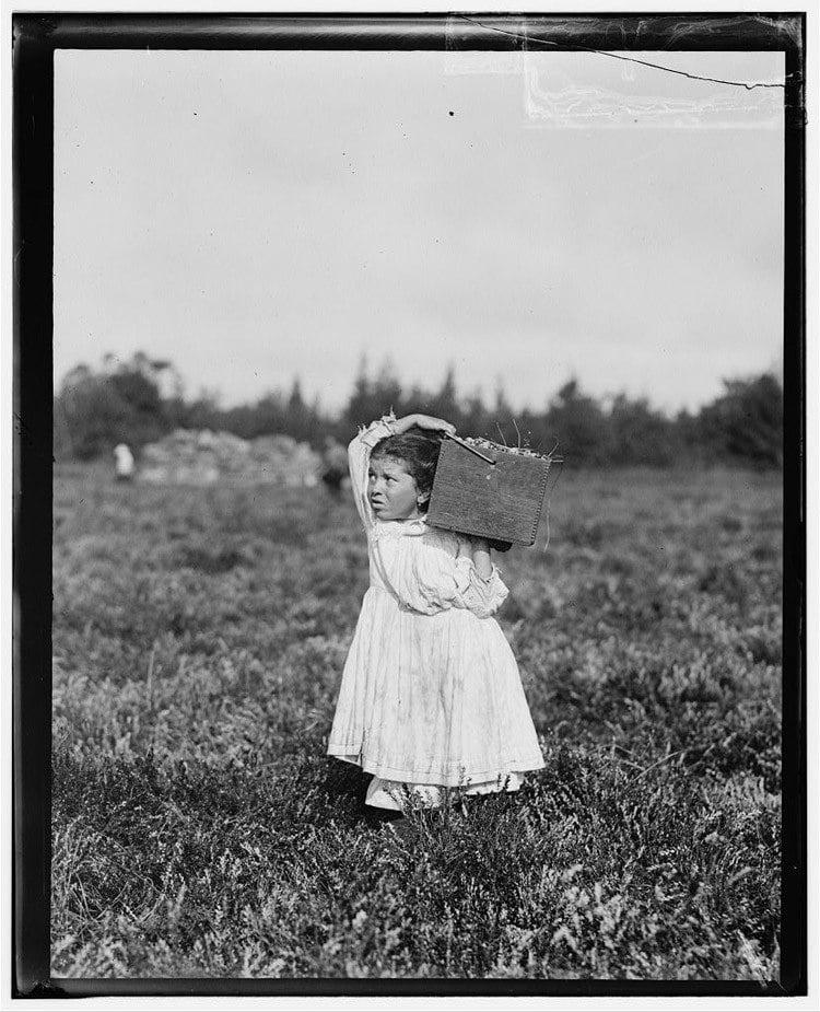 Child Labor 1900s Cranberries