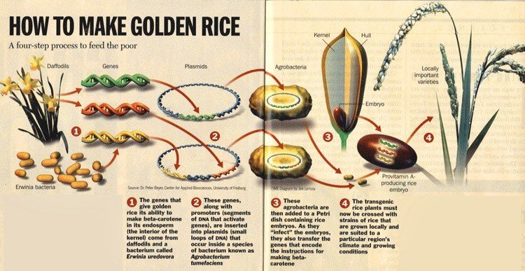 Gmo Foods Make Golden Rice