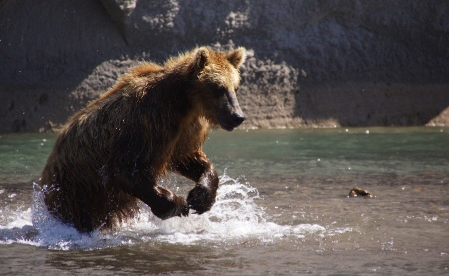Brown Bear In Kurilskoye Lake