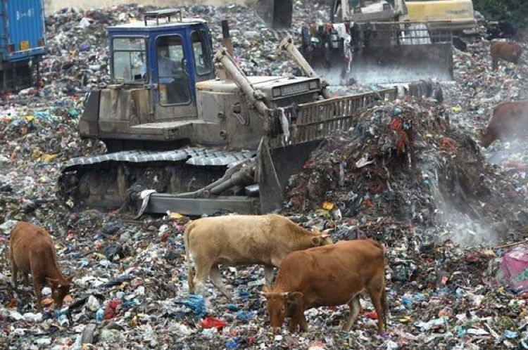 Littering In China Cattle