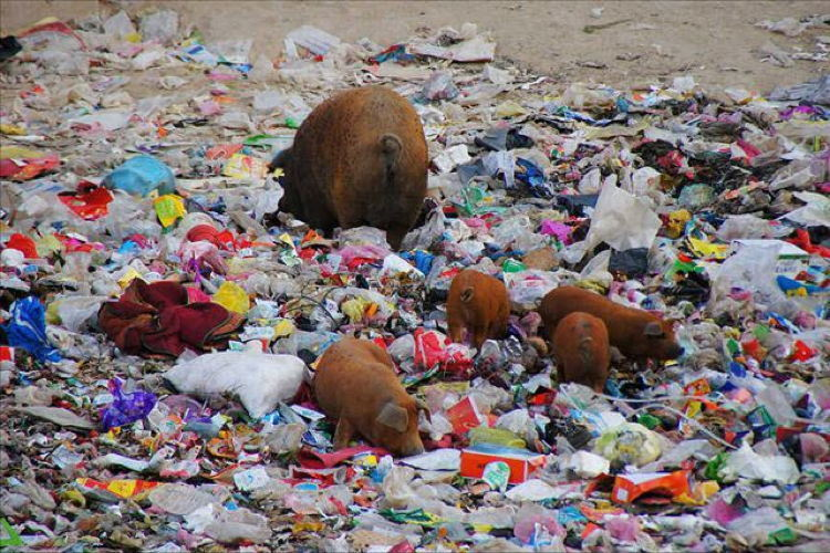 Littering In China Pigs