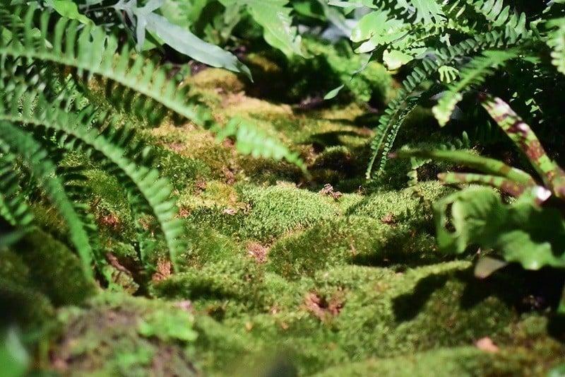 Lowline Fern Moss