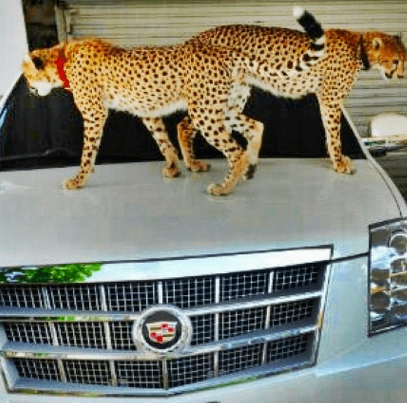 Narco Instagram Photos Cadillac And Cheetas