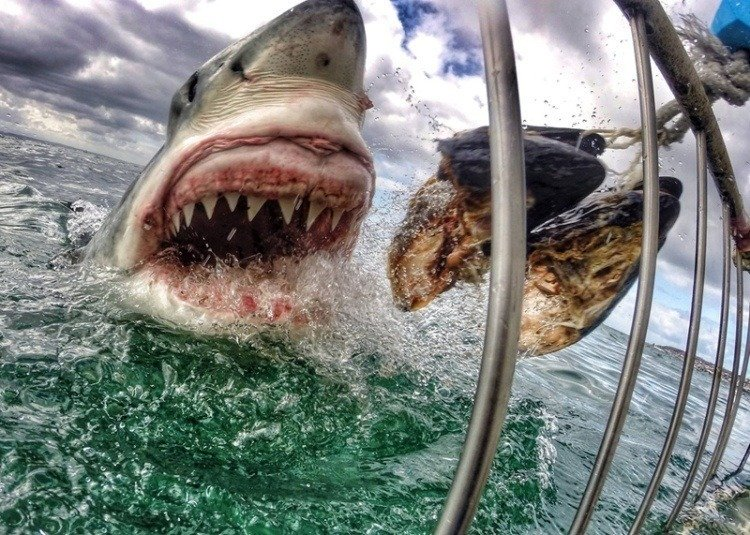 Best Gopro Photos Great White Shark