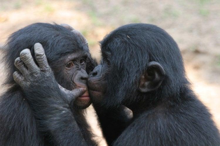 Bonobos Kissing Why We Kiss