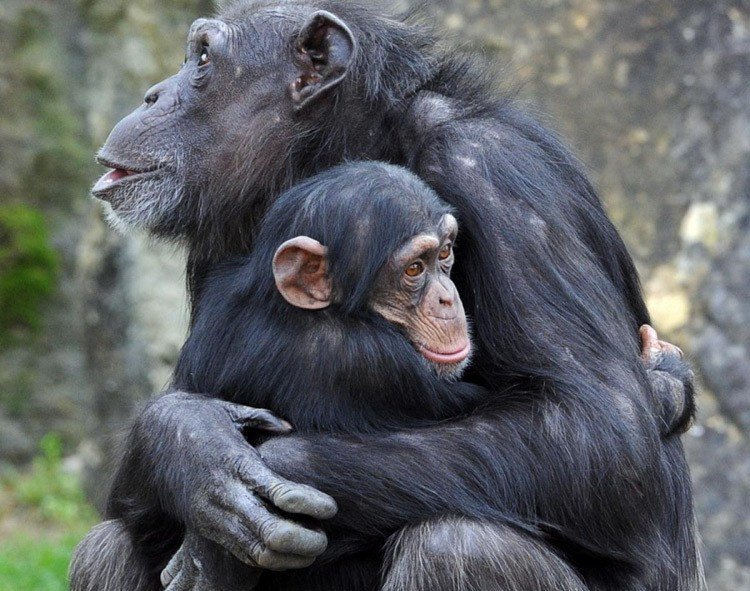 Chimps Hugging Why We Kiss