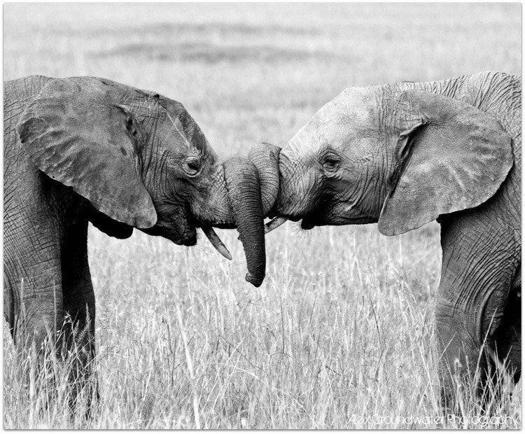 Elephants Hugging Why We Kiss