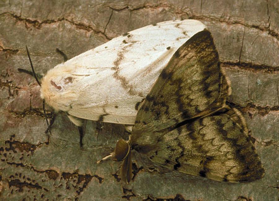 Invasive Species Gypsy Moth