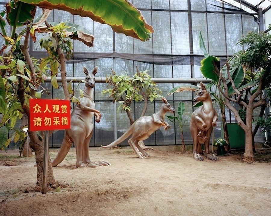 Kangaroo China