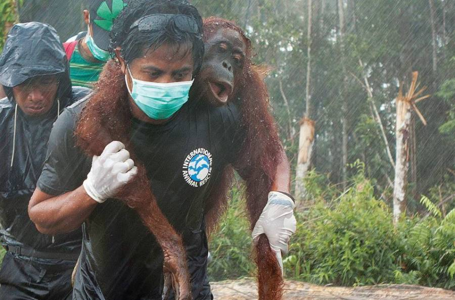 Rescue Of An Orangutan