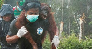 Photo Of The Day: An Animal Rescue Activist Saves An Orangutan From Deforestation In Indonesia