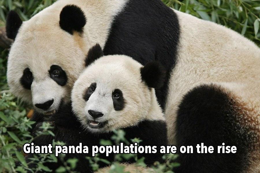 Thankful List Giant Pandas