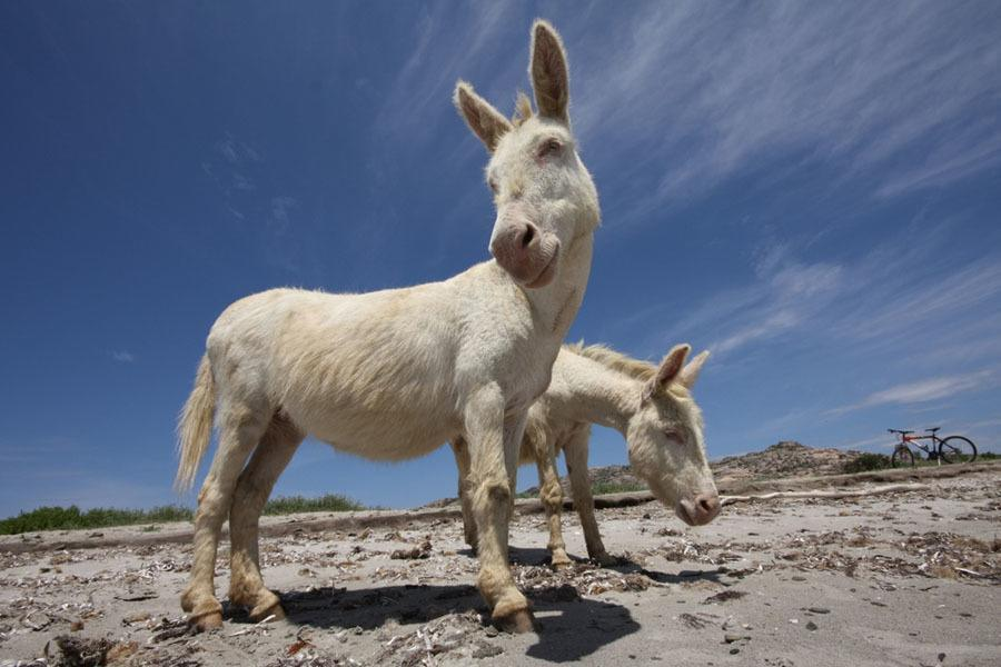Albino Animals Donkey