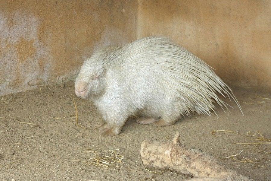 White Porcupine