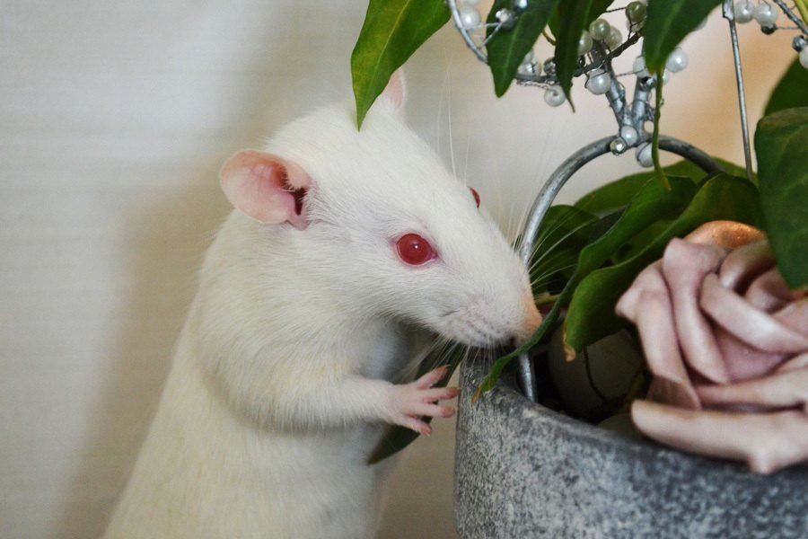 Albino Animals Rat
