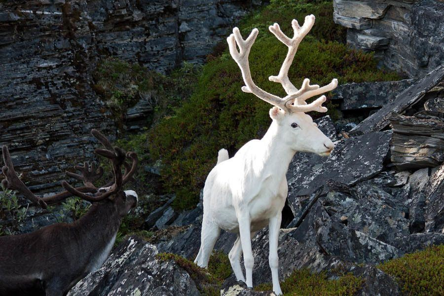 Albino Animals Reindeer