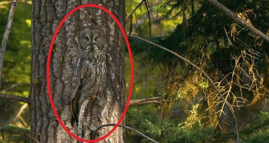 Animal Camouflage Great Gray Owl Circled
