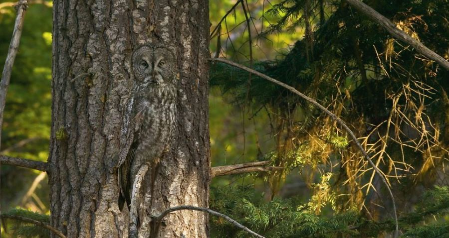 Animal Camouflage Great Gray Owl
