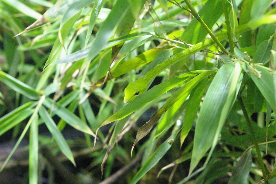 Asian Vine Snake Camouflage