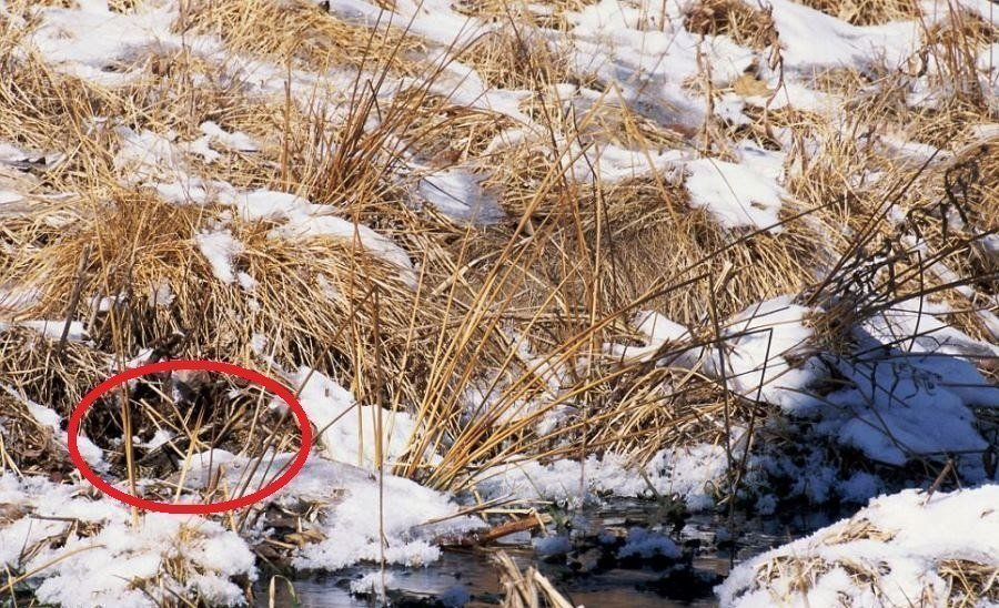 Common Snipe Circled