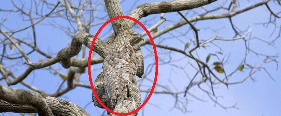 Great Potoo Circled